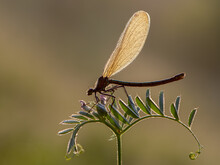 Beautiful Calopteryx Splendens Female On A Flower Morning Dew Summer With Golden Wings