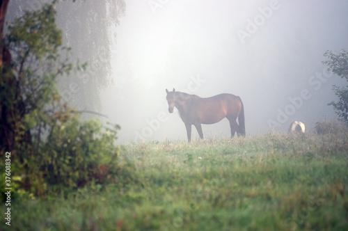 Vászonkép Stojący koń na polanie we mgle