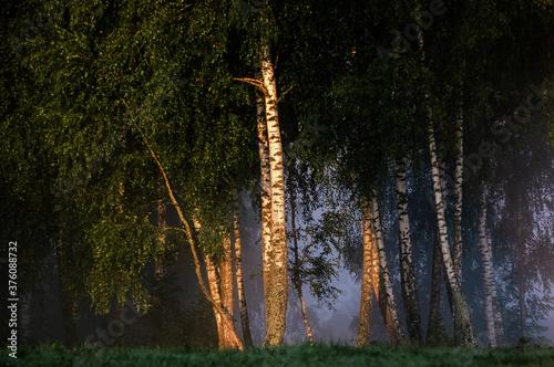 Drzewa brzozy na skraju łąki spowitej mgłą - 376088732