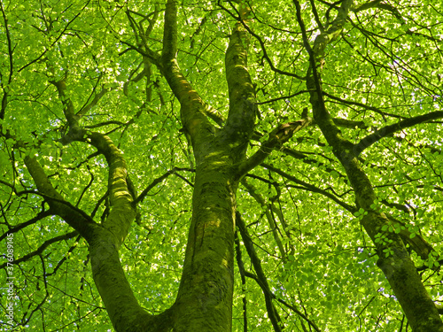 Elm Tree canopy in a Dorset woodland setting. Wallpaper Mural