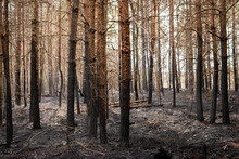 Devastated Forest, Ashes On Th...