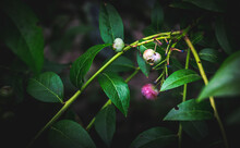 Unripe Blueberry Fruit In The ...
