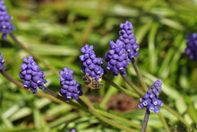 Flowers Of A Grape Hyacinth (Muscari Botryoides) Family Asparagaceae And A Western Honey Bee Or European Honey Bee (Apis Mellifera). Netherlands, March