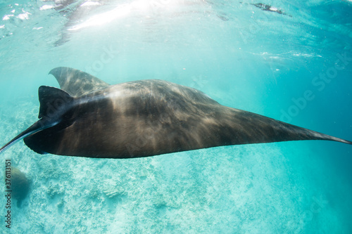 A Manta ray, Manta alfredi, cruises near a cleaning station in Raja Ampat, Indonesia Wallpaper Mural