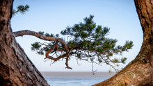 Sea Horizon Framed By Curved Pinetree Trunk And Branches.