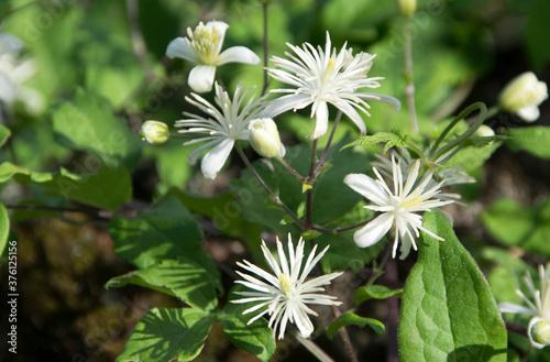 Leinwand Poster Waldrebe (Clematis vitalba), Blüten