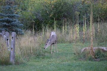 Obraz na płótnie Canvas Deer eating