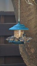 Red-headed Finch (Amadina Eryt...