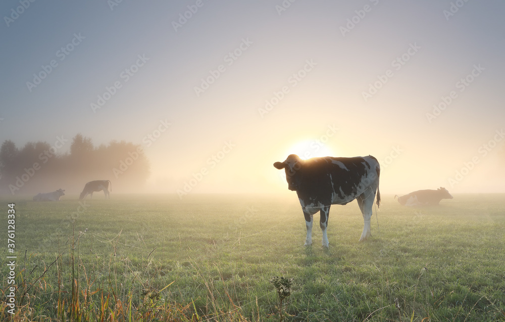 Fototapeta cows grazing on misty pasture at dawn
