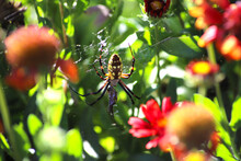 A Colorful Yellow, Brown, Red And Black Spider On A Web Eating Its Prey Surrounded By Red Flowers And Lush Green Leaves