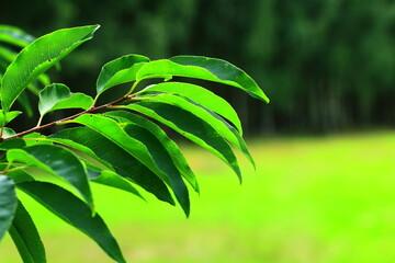 Zielone liście na tle trawy i starego lasu