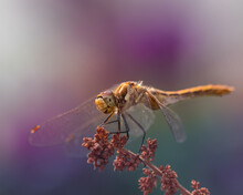 Beautiful Orange Dragonfly On A Branch With Purple Bokeh Background