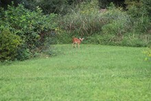 Fawn Walking Out Of The Forest...