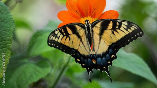 Fotografie, Obraz Swallowtail on Tithonia Flower