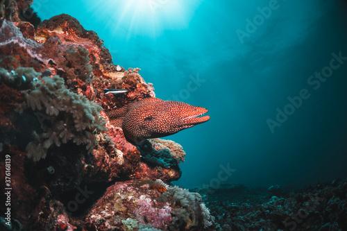 Obraz na plátně Moray eel among colorful coral in clear blue ocean