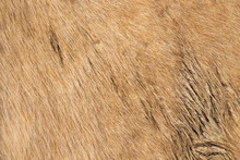 Beige Horse Pelt Texture For Y...
