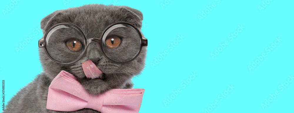 Fototapeta Scottish Fold cat licking his nose, wearing pink bowtie