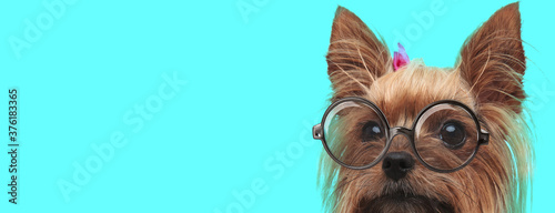 Yorkshire Terrier dog with face half hidden, wearing hairband Canvas Print