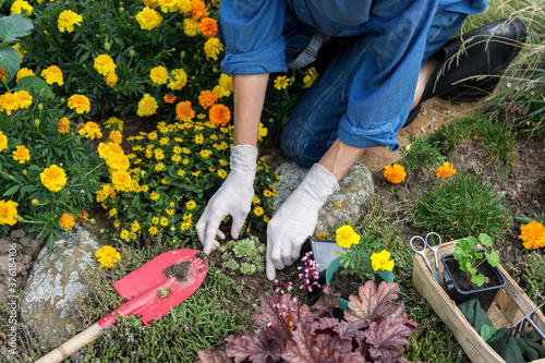 Woman is planting houseleeks (sempervivum tectorum) in the rockery, worker cares Fototapet