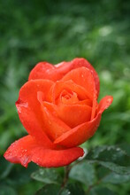 "Rose ""super Trouper""  In The Morning Garden"