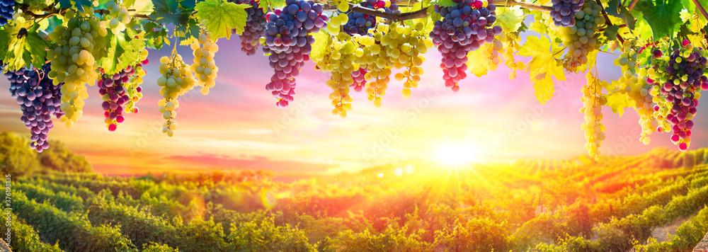 Fototapeta Bunches Of Grapes Hanging Vine Plants With Defocused Vineyard At Sunset