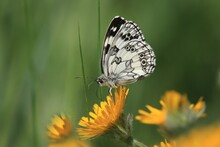 Butterfly Marbled White Sitting On The Yellow Flower. A Butterfly With An Unmistakable Design Forming A Black Cross-linkage On A White, Checkered, Black And White Background. Melanargia Galathea
