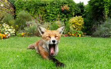 Red Fox Yawning In A Garden