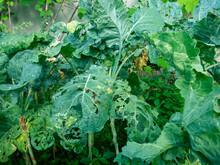 White Caterpillar That Eats Vegetable Leaves