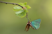 A Beautiful Green Hairstreak Butterfly (Callophrys Rubi) In The Early Morning