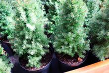 Nursery Of Various Green Spruc...