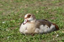 Sleepy Egyptian Goose, Alopochen Aegyptiaca, Sleeping In A Grass Meadow In Summer Sunshine