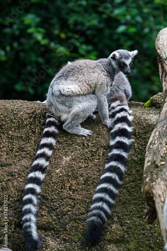 Ring-tailed lemur on the rock. Wallpaper Mural