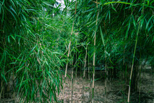 Photograph Of Bamboo Leaves And Bamboo Based On The Concept Of Nature