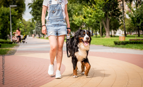 Owner walking with the Berner Sennenhund dog at the park.