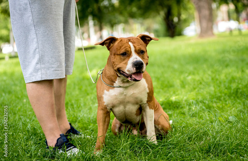 Fotografie, Tablou Owner trains the american staffordshire terrier at the park.
