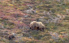 Grizzly Bear Sow And Cub In Denali National Park Alaska In Autumn