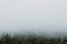 Foggy Pine Tree Forest In The ...