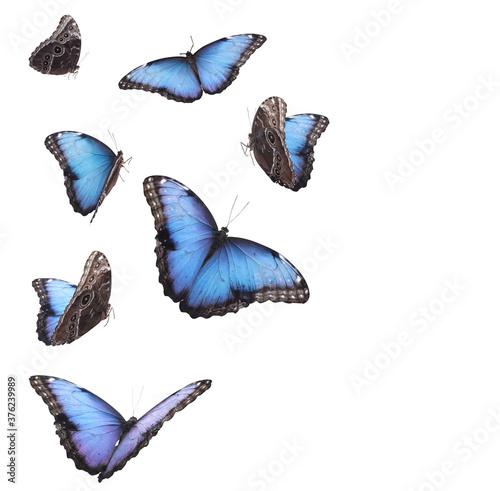 Obraz na plátne Amazing common morpho butterflies flying on white background