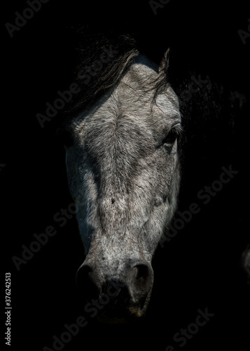 Art photo of silver head horse on deep black background Canvas Print