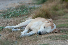 Sleeping Lion In The Grass