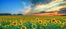 Field Of Sunflowers In The Eve...