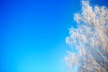 Snow Covered Birch Tree Branch...