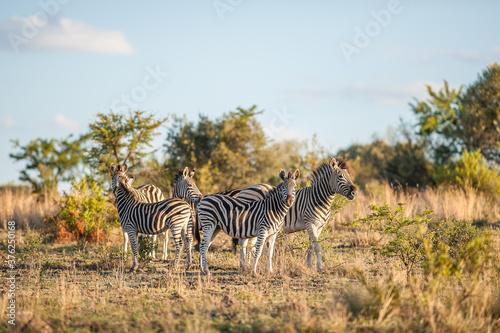 Fototapety, obrazy: Herd of Zebra