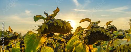 Fototapeta Banner sunflower fields during sunset