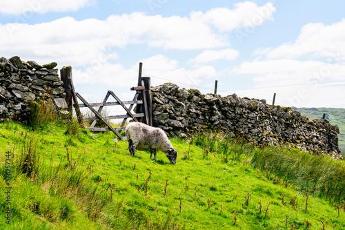 Fototapeta Sheep on the hillside of Kirkstone Pass Lake District UK