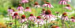 canvas print picture - Echinacea Purpurea or Pink Coneflower in garden. Summer flower background. Selective focus. Horizontal banner