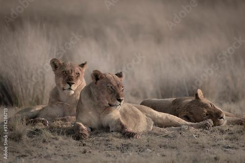 Papel de parede Lion pack at Etosha