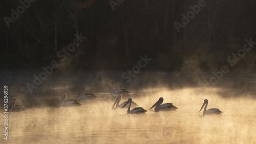 Fotografia Pelicans in the morning mist