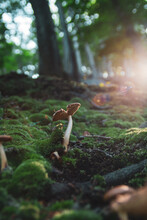 Poison Mushroom Was Found In The Ancient Forest During The Golden Hour. (Amanita Fulva)