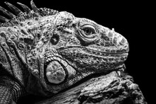 Iguana Head Closeup